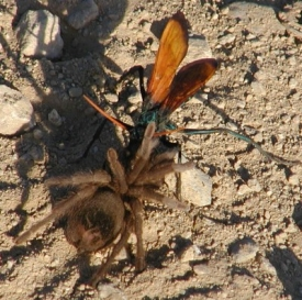 The occasional insect bite is just part of the job for Olson. A tarantula hawk like this one stung him when he got too close. (Photo courtesy of Olson)