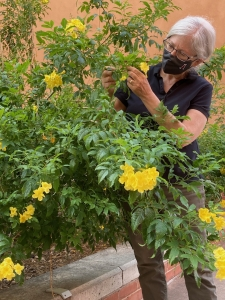 Judith Bronstein examining a Tecoma flower. (Photo by Matt Mars)