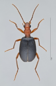 A dorsal beetle. (Photo courtesy of Wendy Moore)