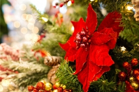 The poinsettia is the most commonly gifted Christmas plant.