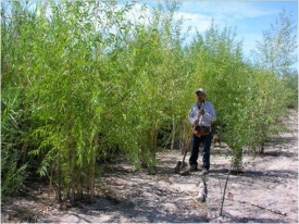 Francisco Zamora, director of the Colorado River Delta Program of the Tucson-based Sonoran Institute, stands by some willow trees planted on the bank of the dry river channel at one of the institute's restoration sites. (Photo credit: Sonoran Institute)