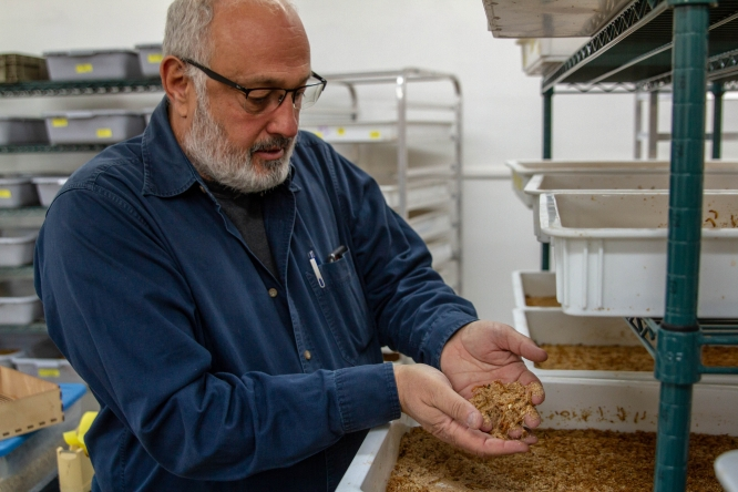 Goggy Davidowitz, a professor in the Department of Entomology, looks through a tub of mealworms he and his lab team are raising near the Campus Agriculture Center off Campbell Avenue. Davidowitz and his team of four students and a research technician are trying to create a scalable model for raising edible mealworms on spent beer-brewing grains, a project funded by a Green Fund annual grant. (Photo: Kyle Mittan/University Communications)