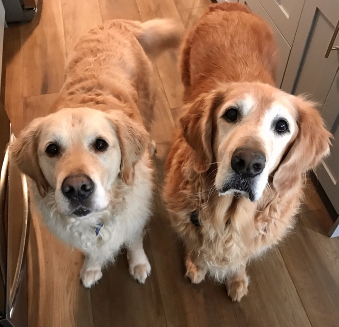 "Golden retrievers Duke and Jack started off as assistants to Lisa Romero, senior director for public affairs and communications at the BIO5 Institute. But it all went downhill from there, she says. Check out the gallery of ""co-workers"" that employees from around the University sent in."