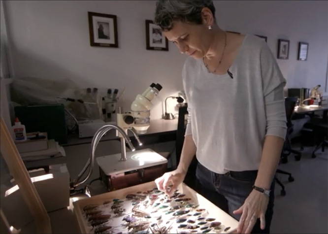 Cara Gibson prepares insect specimens from the Department of Entomology's teaching collection to show visitors.