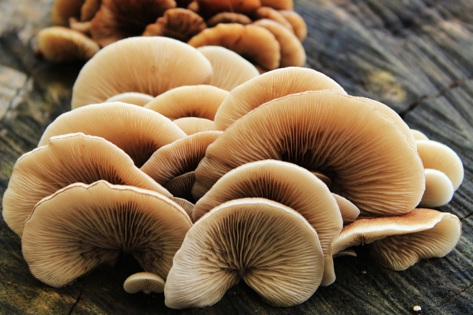 Mushrooms are a type of fungi.