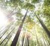 Sunlight shining through a bamboo forest